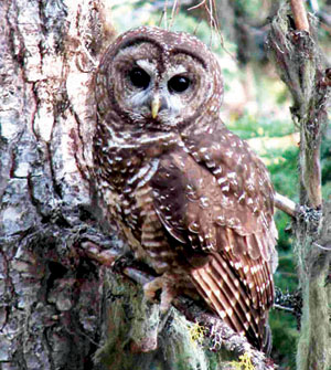spotted owl essay james mccabe